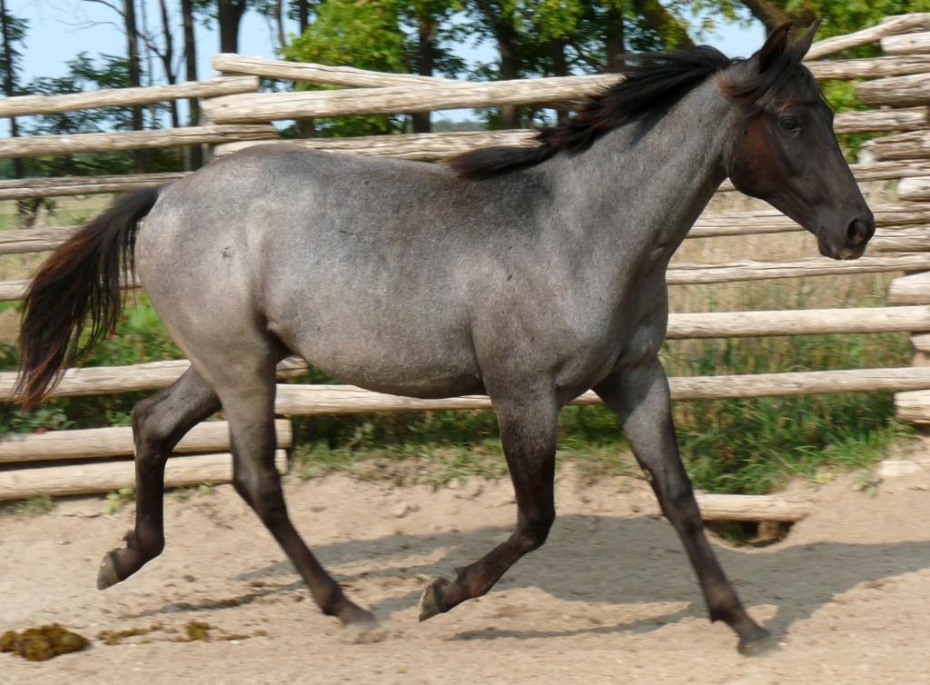 Blue filly 1