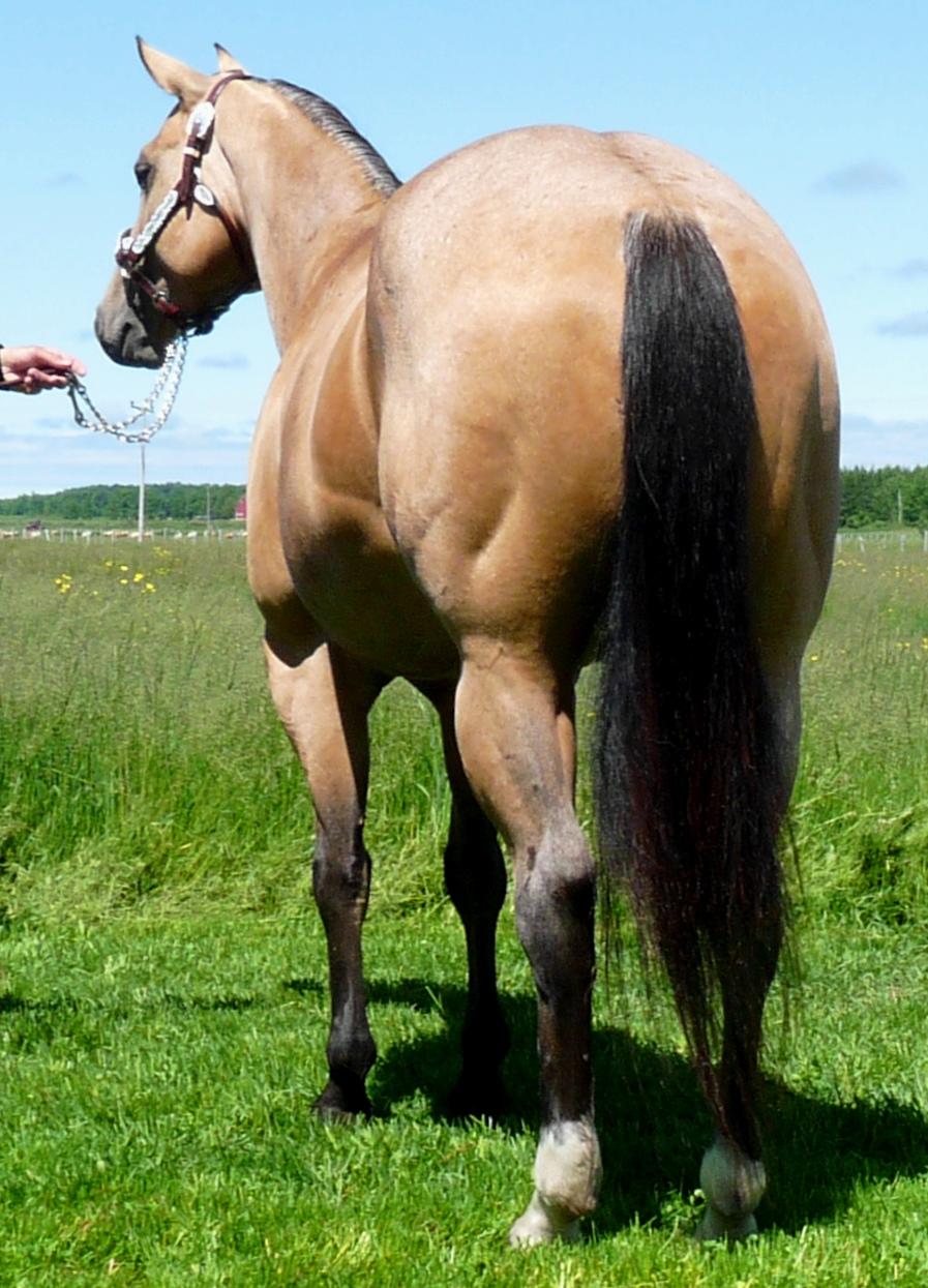 buckskin mare hind end