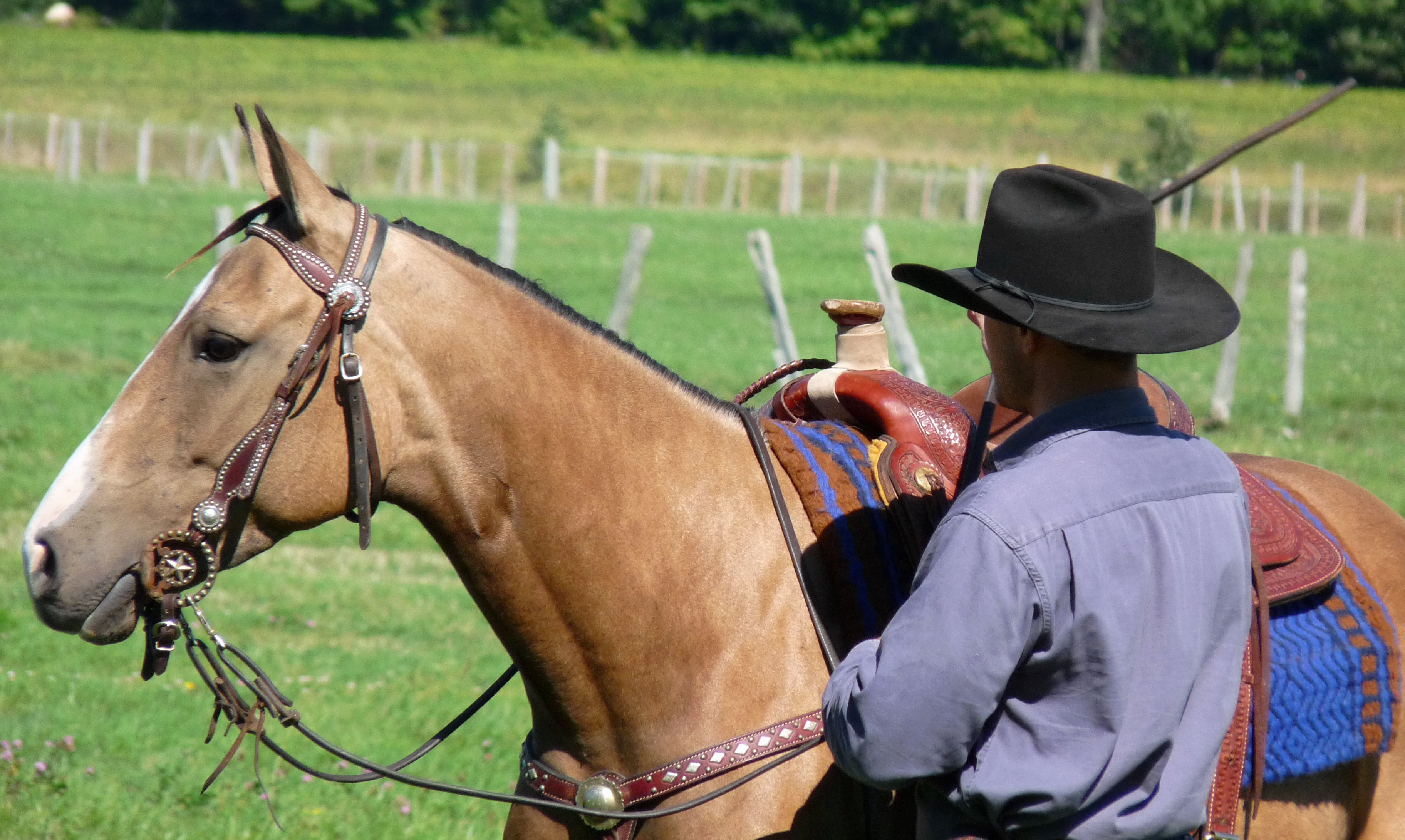 buckskin mare4